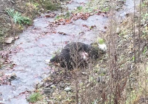 Лісівники заперечують, що на Тячівщині овець загризли вовки
