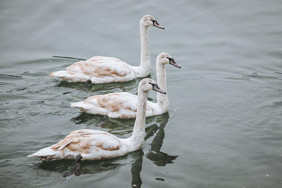 В Ужгороді на Ужі зимують лебеді (фото)