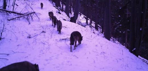 На Рахівщині активізувалися вовки (фото)