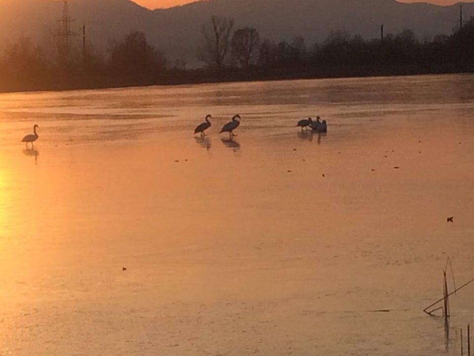 На Тячівщині рятували лебедів, які потрапили у крижаний полон