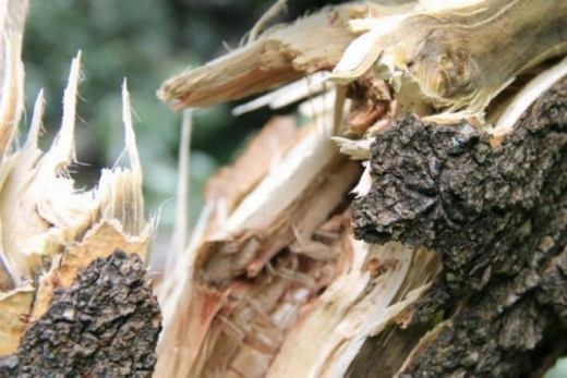 В Ужгороді дерево впало на автомобіль