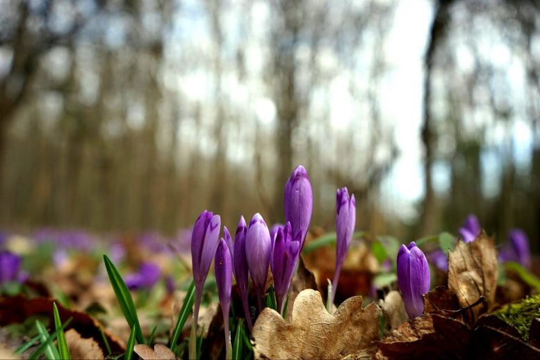 Весняна розкіш: в Закарпатській області зацвів шафран