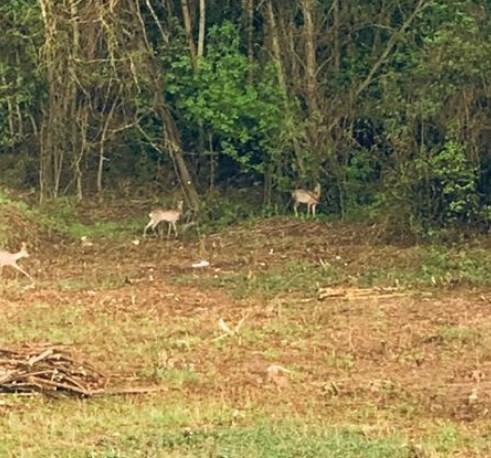 В ужгородському парку живуть косулі (відео)