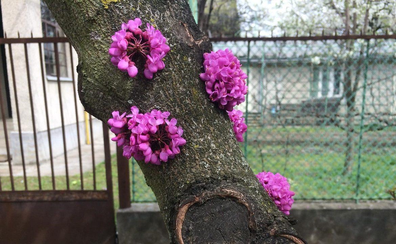 В Ужгороді розквітло екзотичне Юдине дерево (ФОТОФАКТ)