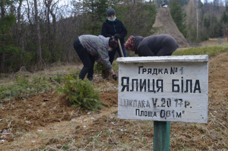 У лісовому фонді закарпатського високогір'я розпочався посадковий сезон