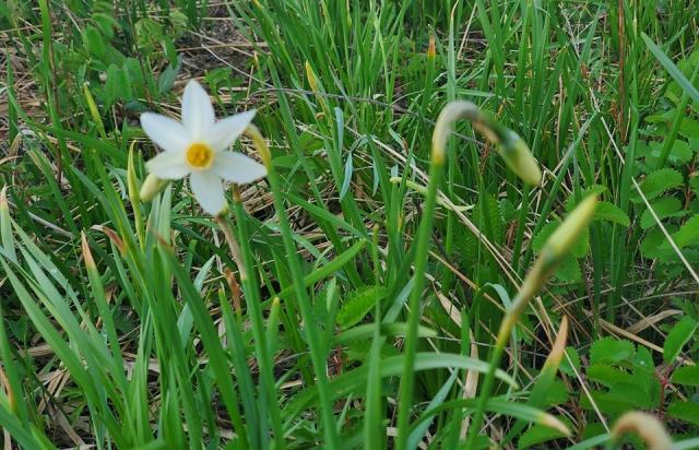 На Закарпатті почала квітнути Долина Нарцисів (ФОТОФАКТ)