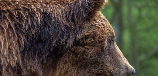 """У мережі показали фотосесію бурих медведів з нацпарку """"Синевир"""""""