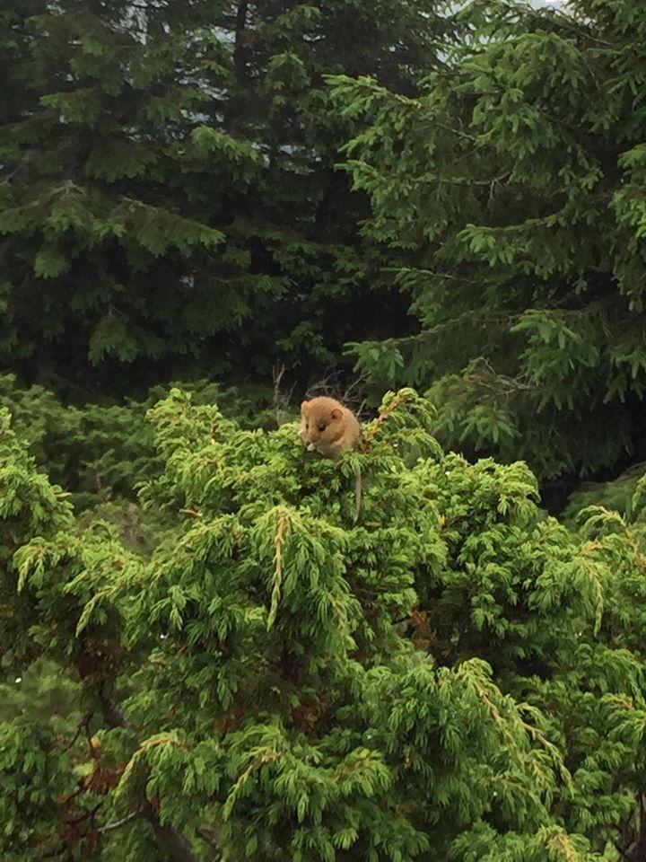На Закарпатті у горах помітили соню горішкову (ФОТОФАКТ)