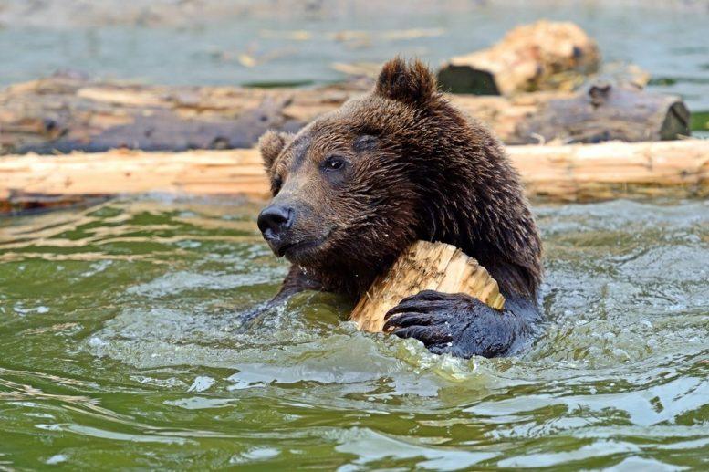 """В нацпарку """"Синевир"""" опікуються 31 ведмедем (фото)"""