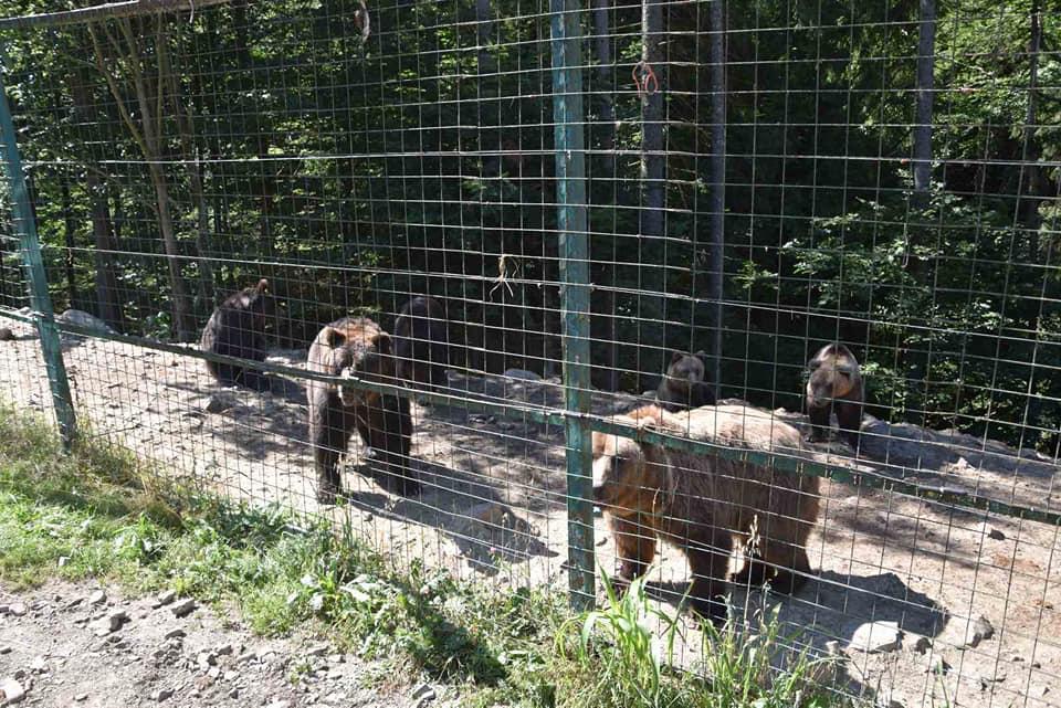 До центру реабілітації бурих ведмедів на Закарпатті привезли двох нових мешканців