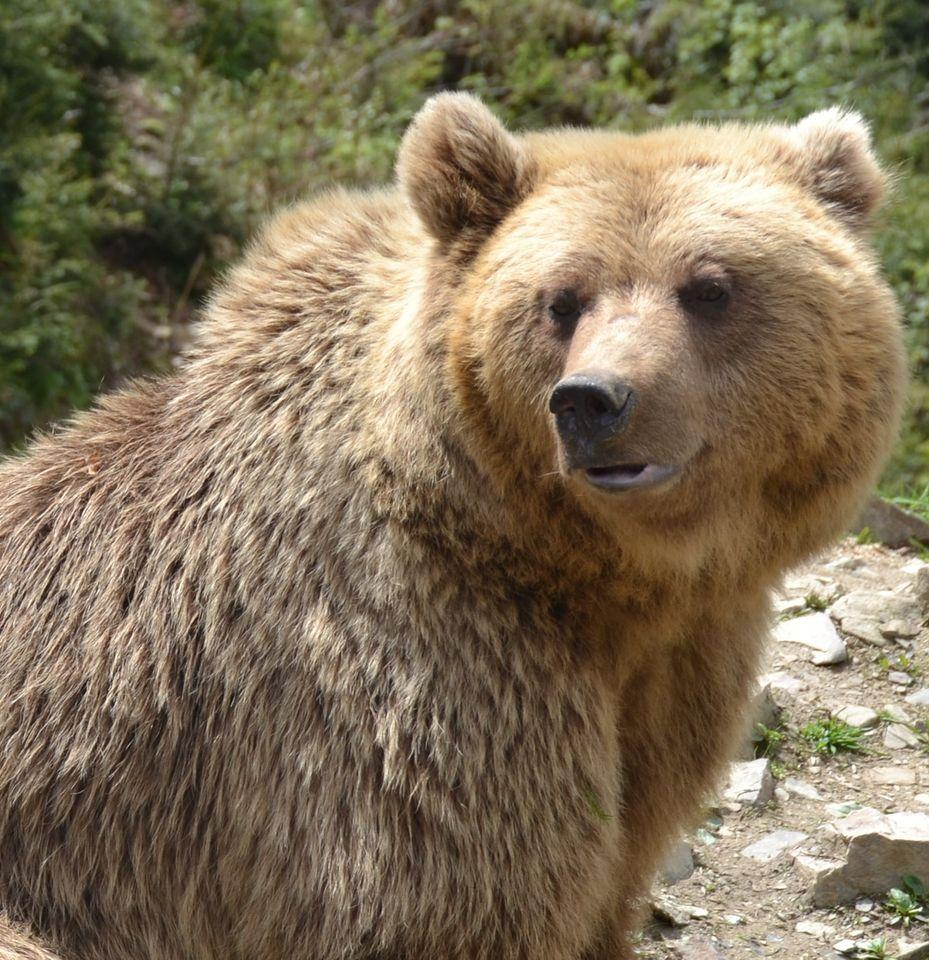 У Центрі реабілітації бурих ведмедів на Закарпатті вже готуються до зими