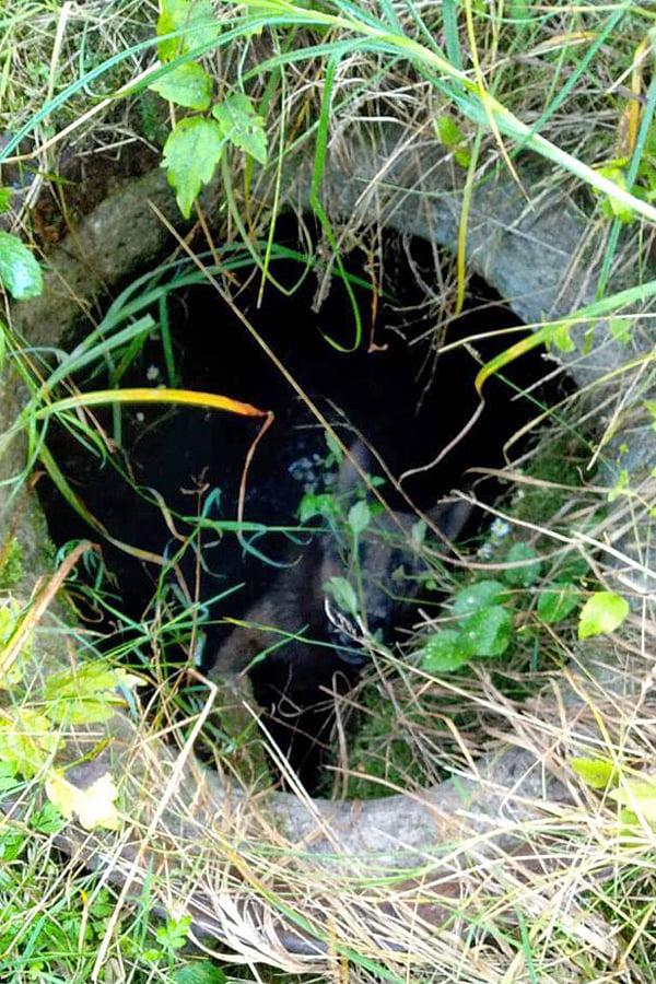 Ужгородські рятувальники звільнили вівчарку, що впала у каналізаційний люк