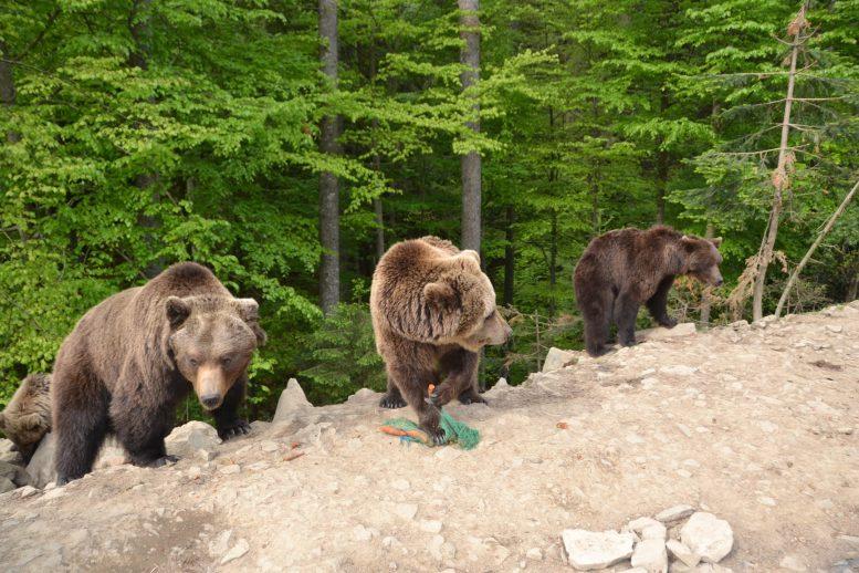 """У нацпарку """"Синевир"""" ведмедів готують до зимового сну"""