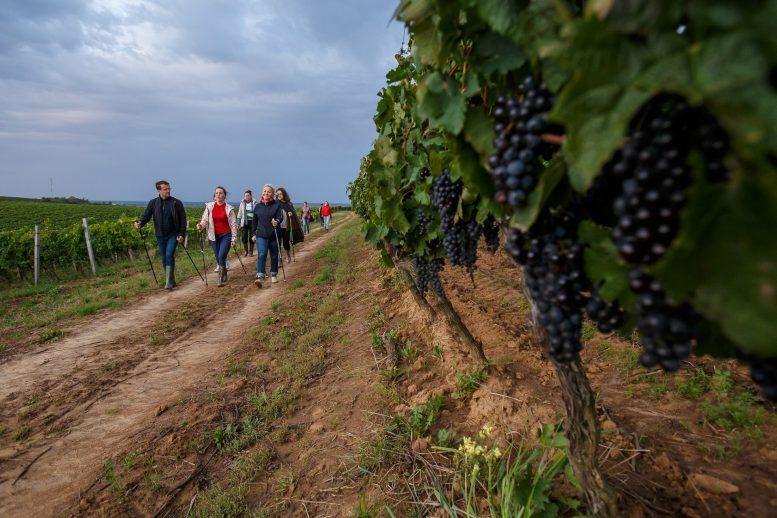 На Закарпатті маршрут для скандинавської ходи проклали по виноградниках