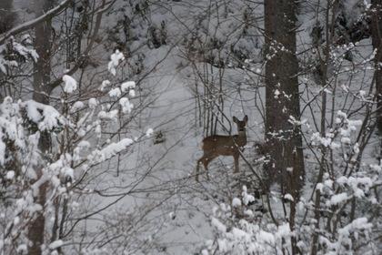 Закарпатські лісівники облаштували пункти для підгодівлі диких тварин узимку (ВІДЕО)
