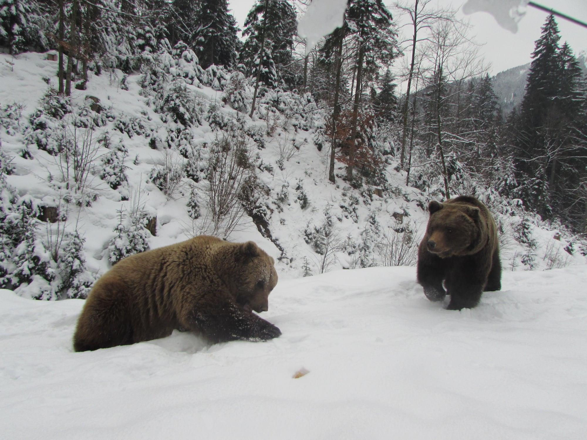 """Чисельність ведмедів у Центрі Реабілітації НПП """"Синевир"""", які впадають у сплячку, щороку збільшується"""
