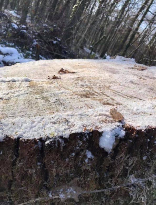 Під Ужгородом продовжують нещадно рубати ліси (фото)