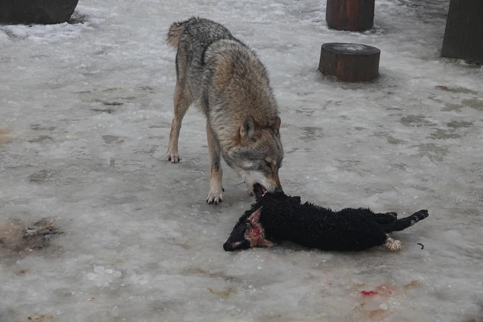 На Міжгірщині пара вовків влаштувала справжню бійню овець (ФОТО 18+)