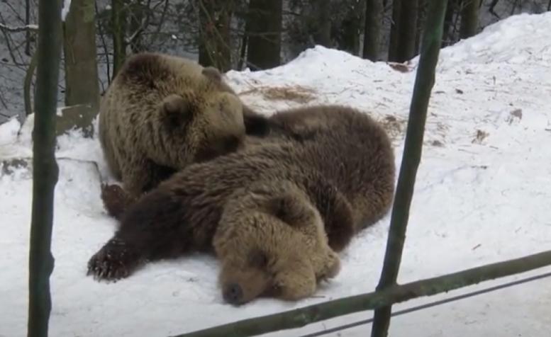 На Закарпатті не всі ведмеді залягли у сплячку (відео)