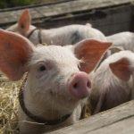 В Мукачеві під час пожежі на свинофермі загинуло 130 поросят