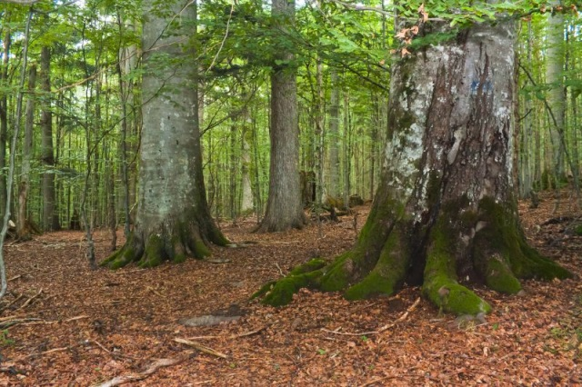 На Закарпатті планують збільшити площі пралісових пам'яток природи