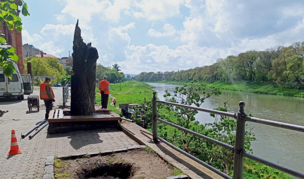 В сквері у центрі Ужгорода впало старе дерево – зламало огорожу і лавицю та впало з висоти на берег річки