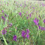 На Закарпатті поляна диких орхідей цвіте напередодні сезону білих грибів (відео)