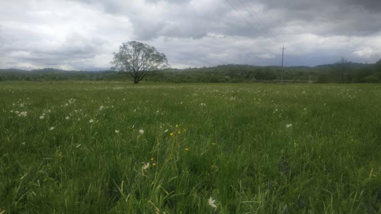 У Долині нарцисів на Закарпатті почали розпускатися перші квіти (ФОТОФАКТ)