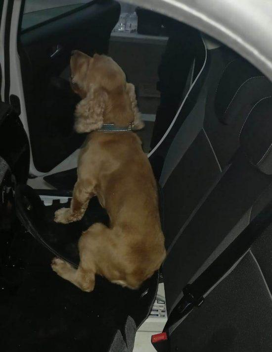 На митному посту «Тиса» службовий пес блискавично винюхав два тютюнові тайники в іномарці
