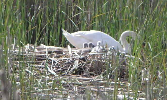 На ужгородському озері в родині лебедів неймовірне поповнення (фото)