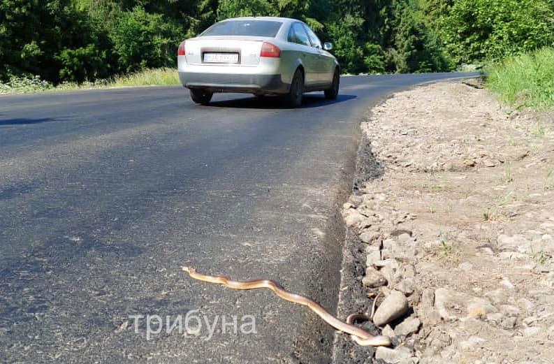 На території Ужанського нацпарку під колесами автівок масово гинуть змії (фото)