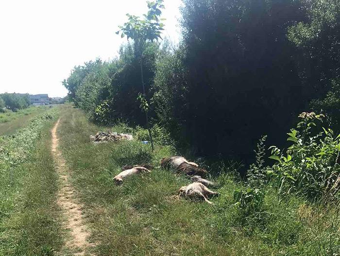 Поряд з житловими будинками у Мукачеві невідомі викинули трупи свійських тварин