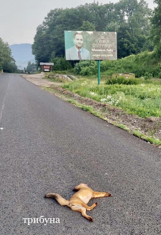 На території Ужанського нацпарку загинула під колесами авто лисиця (фото)