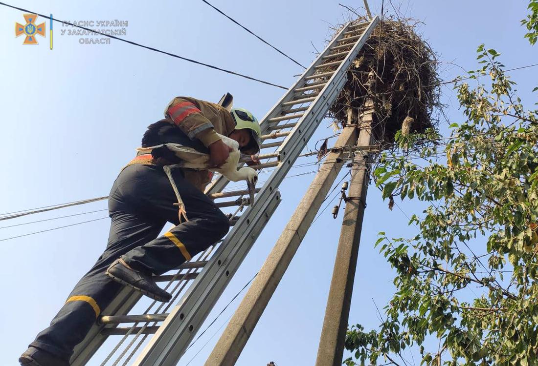 Виноградівські рятувальники допомогли лелекам повернути додому пташеня, що випало з гнізда