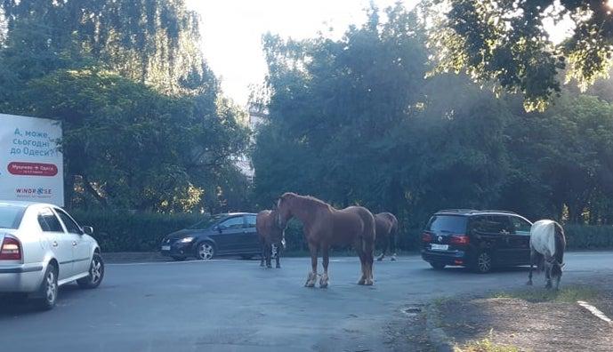 Мукачівськими вулицями  снують табуни коней (фото)