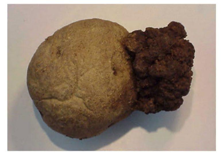 Сажка картоплі (Thecaphora solani)