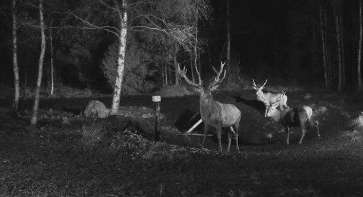 Камера відеоспостереження Рахівського лісництва відзняла стадо оленів (ФОТО)