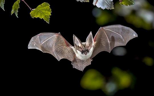 Новий етап дослідження кажанів розпочався на Закарпатті