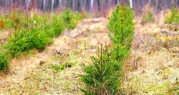 """У рамках акції """"Створюємо ліси разом"""" на Закарпатті висадять близько 510 тисяч саджанців"""