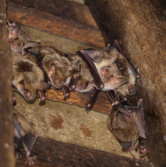 На Закарпатті серйозно занепокоєні перспективою вимирання кажанів