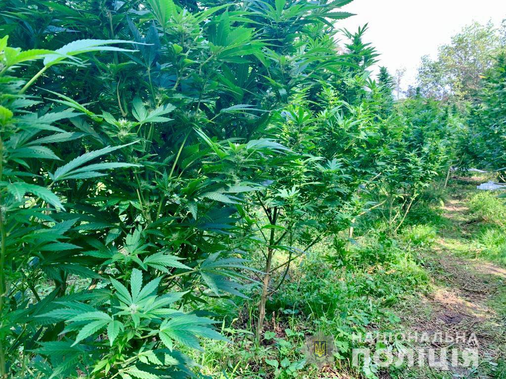 Правоохоронці виявили на Мукачівщині 300-метрову плантацію конопель