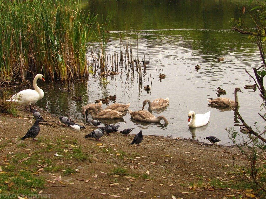 """На озері """"Кірпічка"""" в Ужгороді підростає потомство лебедів-шипунів"""